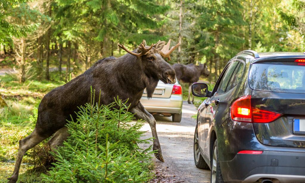 image: Dette må du gjøre om du kjører på ville dyr