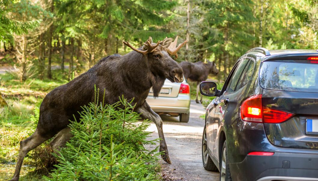 Dette må du gjøre om du kjører på ville dyr
