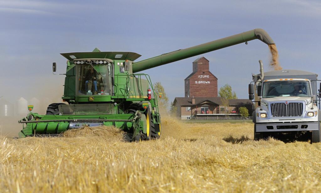 KANADISK HVETE - NORSK BRØD: Norske møller og bakere er igjen avhengig av å få kjøpt hvete fra store produsentland som Canada - her fra tresking av en hveteåker i High River i delstaten Alberta - for å få norsk brødbaking til å fungere. Foto: Mike Sturk, Reuters/NTB Scanpix.
