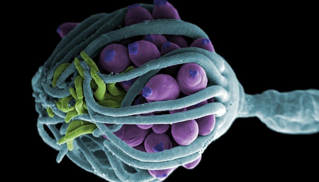 I FORSVAR: Hydroid Ectopleura larynx i forsvarsmodus. Foto: Jannicke Wiik-Nielsen