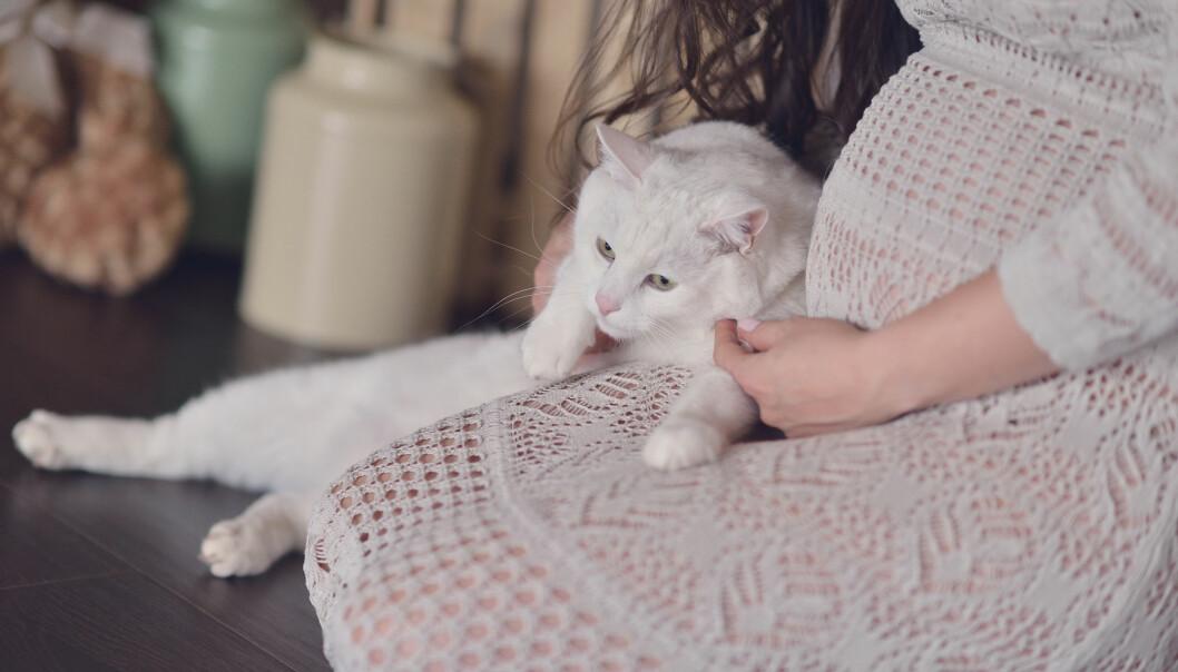 TOKSOPLASMOSE: Toksoplasmose-parasitten kan smitte mennesker via katters avføring – gravide katteeiere bør derfor være litt forsiktige. FOTO: NTB Scanpix