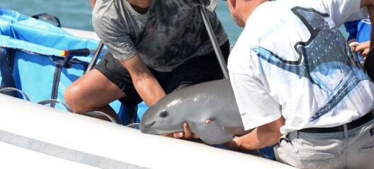 Ville redde verdens mest sjeldne havdyr, men noe gikk galt. Neste år kommer det siste til å dø