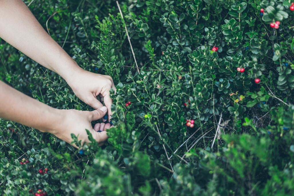BÆRPLUKKERSYKE: Sykdommen opptrer vanligvis om sensommeren og høsten, og rammer nesten bare voksne. Foto: Shutterstock