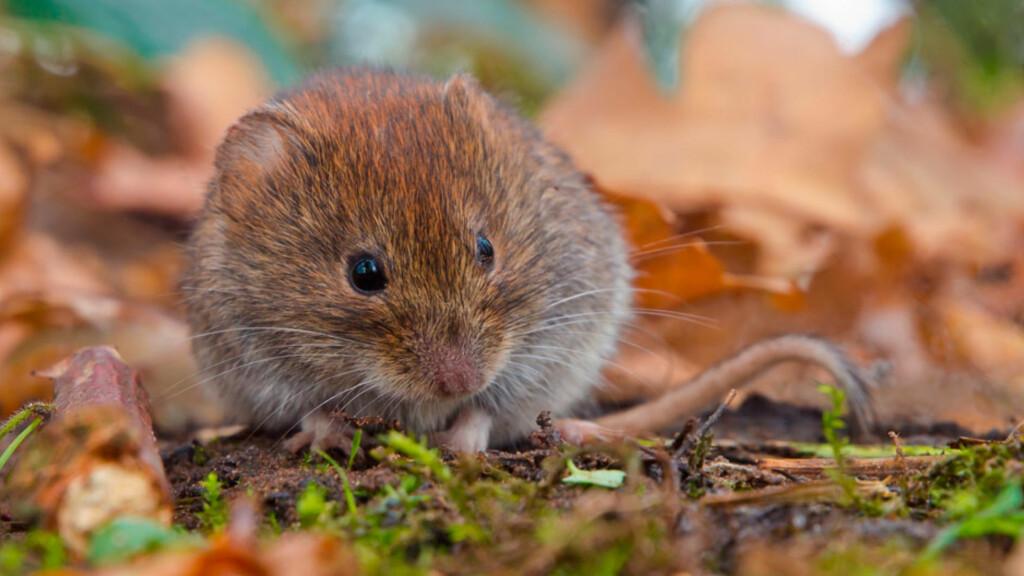 SPRER MUSEPEST: Musepest spres via avføring fra mus, via luft, til mennesker. Klatremus i Sør-Norge og rødmus i Nord-Norge er gnagerne som man vet sprer musepest i Norge. Foto: NTB Scanpix/Shutterstock