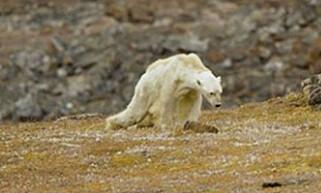 SJOKKBILDE: Dette bildet av en utmagret og døende isbjørn i Canada har gått verden rundt. Foto: Paul Nicklen