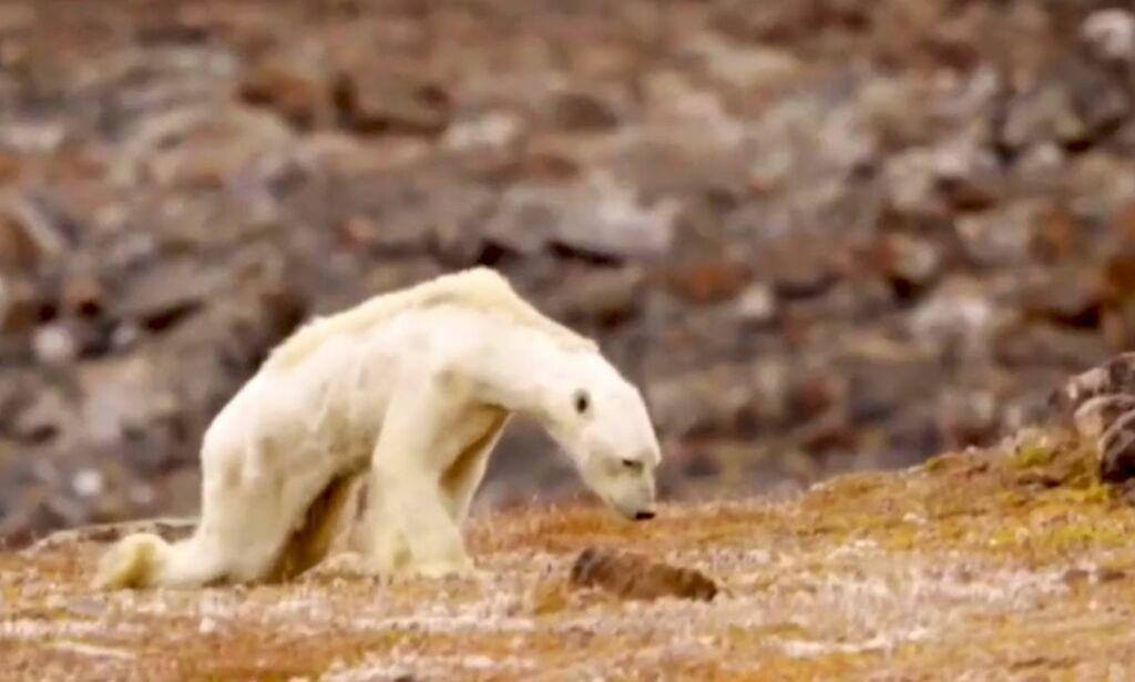 image: Ekspert sår tvil om «klima-isbjørnen» som rystet verden