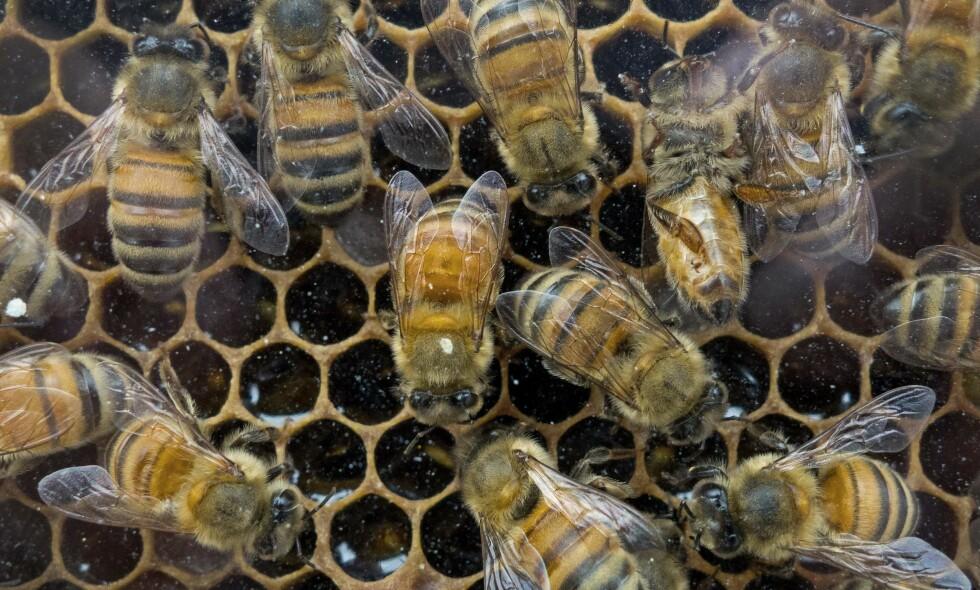 BIER: Den mye omtalte biedøden kan bli et stort problem. Her er bier fra et marked utenfor Washington. Foto: AFP PHOTO / Paul J. RICHARDS