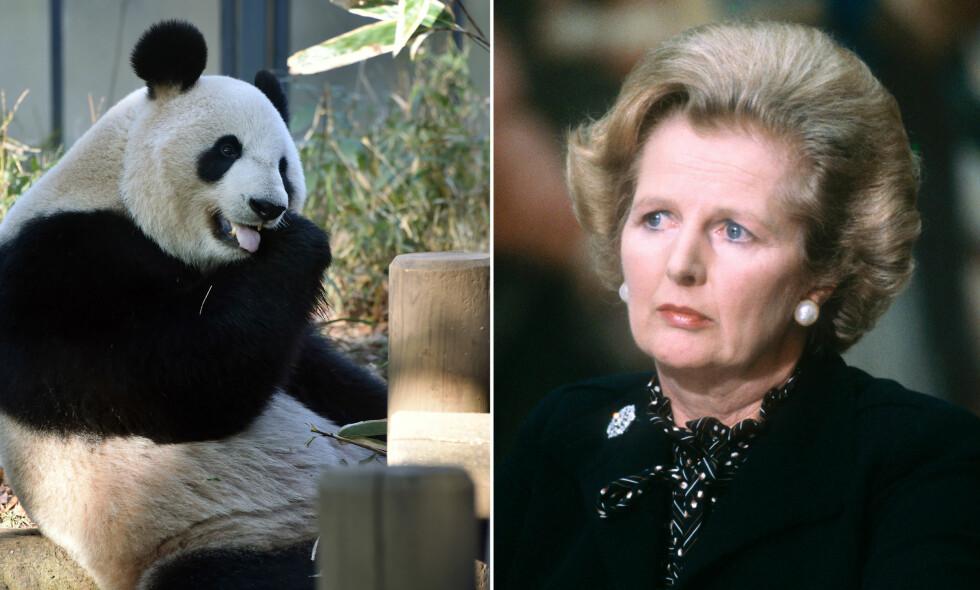 DÅRLIG TEGN?: Britenes tidligere statsminister Margaret Thatcher mente at politikere og kjempepandaer ikke var noen god kombinasjon. Foto: AFP PHOTO / KAZUHIRO NOGI/AFP PHOTO / LEON NEAL AND Gabriel DUVAL / NTB Scanpix