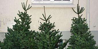 image: Frykter juletremangel etter tørkesommeren