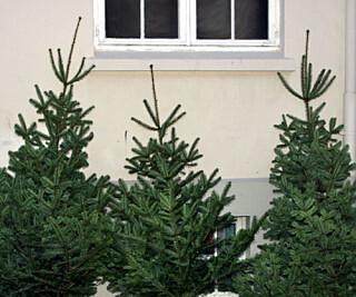 MAT: Ikke se bort fra at du vil endre syn på juletreet. Når du har satt juleribba av treflisgris i ovnen, vil du kanskje se bort på treet og tenke på det som kilde til dyremat.