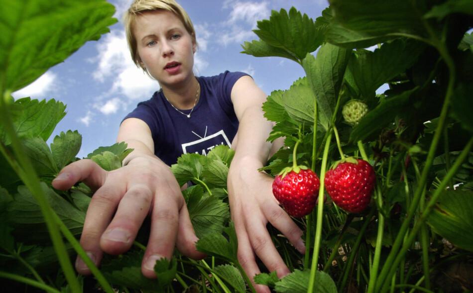 AVGJØRENDE ARBEID: Selv en enkel sommerjobb, som å plukke bær, kan være en viktig referanse seinere i arbeidslivet, ifølge Manpower. Foto: Erlend Aas/Scanpix.