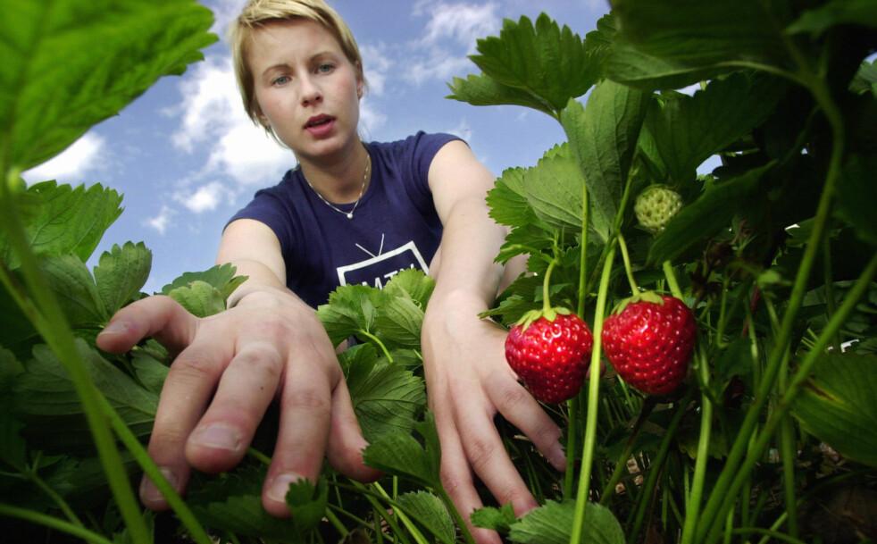 <strong>AVGJØRENDE ARBEID:</strong> Selv en enkel sommerjobb, som å plukke bær, kan være en viktig referanse seinere i arbeidslivet, ifølge Manpower. Foto: Erlend Aas/Scanpix.