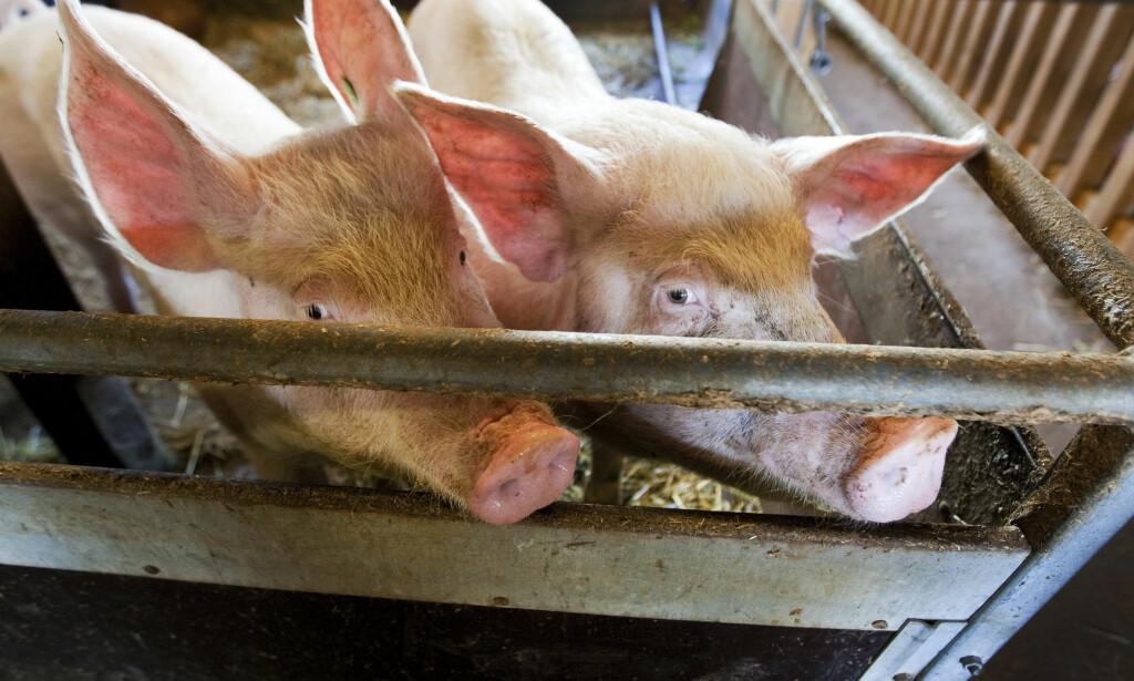 FOR MANGE DYR: Flere bønder skal bevisst ha produsert flere svin eller fjærfe enn tillatt. Foto: Gorm Kallestad / NTB scanpix