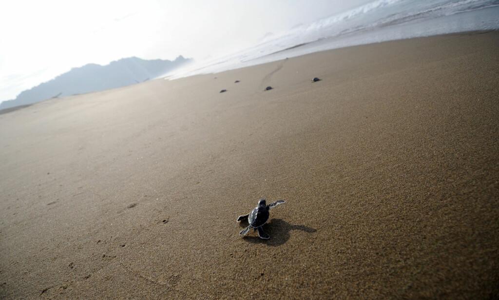 UTRYDNINGSTRUET: Suppeskilpaddenes kjønn avgjøres av utetemperaturen når de klekkes. Klimaendringene har ført til at det er en overvekt av kvinnelige skilpadder. Foto: Sonny Tumbelaka