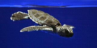 image: Klimaendringene endrer havskilpaddenes kjønn