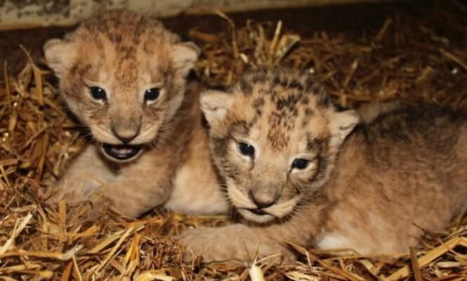 Dyrepark lokker med søte løveunger, men når de blir eldre blir de avlivet som «overskuddsdyr»