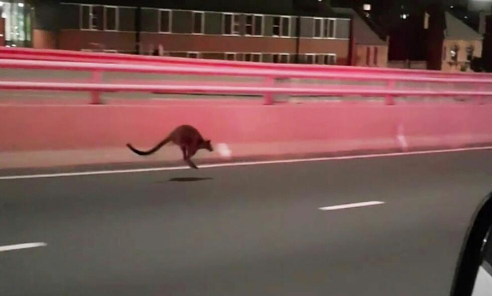 BYTUR: Wallabyen hoppet rundt i veibanen på Harbour Bridge i Sydney. Foto: AAP / NSW Police / via REUTERS