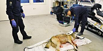 image: Politimann frifunnet for tips til ulvejeger: - Slik blir det lettere for juristen å henlegge saken