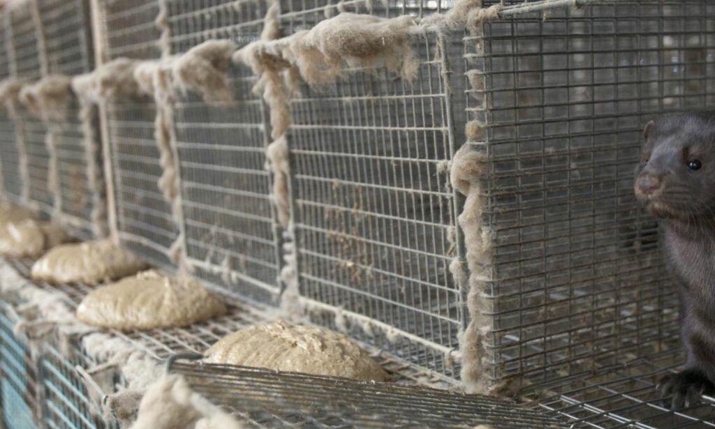 image: Regjeringens vedtak om å avvikle pelsdyrnæringa er en seier for dyra