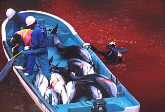 GIKK VERDEN RUNDT: Delfinfangst i Taiji. Foto: NTB Scanpix