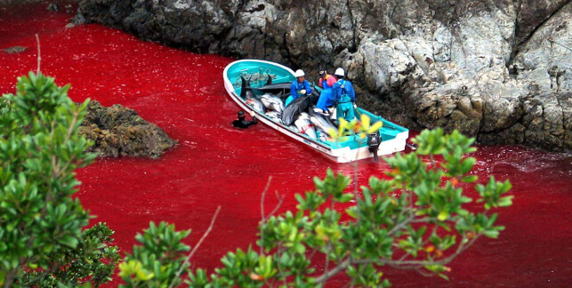 JAKT: Delfin og småhval gjettes inn i en trang bukt og slaktes. Fangstmetodene skal ha endret seg etter «The Cove». Foto: NTB Scanpix