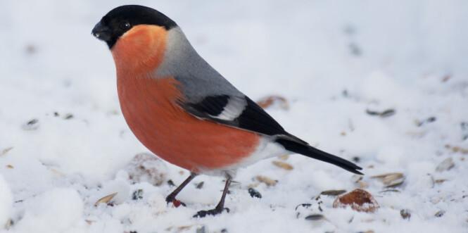 En dompap i snøen. Foto: Paul Kleiven / NTB scanpix