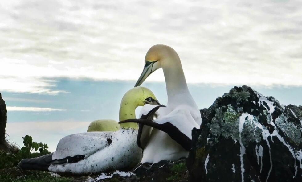 SAMMEN TIL DØDEN SKILTE DEM AD: For fem år siden ble havsula Nigel lokket til Mana Island av naturvernere som ville opprette en koloni. Der fant han kjærligheten med denne havsula av betong. Foto: New Zealand Department of Conservation