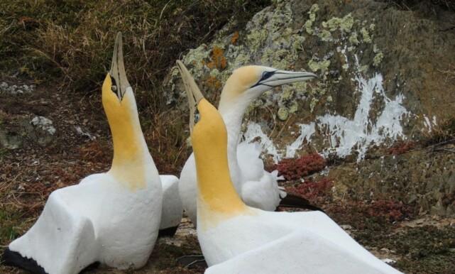 FIKK ALDRI NOE TILBAKE: Naturvernerne observerte Nigel i flere år mens han styrte og stelte med partneren sin. Chris Bell i viltmyndighetene beskriver havsulas tilværelse som frustrerende. Foto: New Zealand Department of Conservation