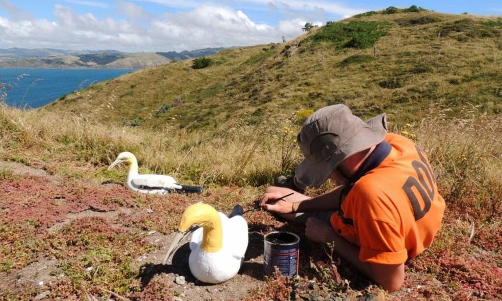 VEDLIKEHOLD: Naturvernerne restaurerer havsulene av betong i håp om å tiltrekke en koloni til øya. Foto: New Zealand Department of Conservation