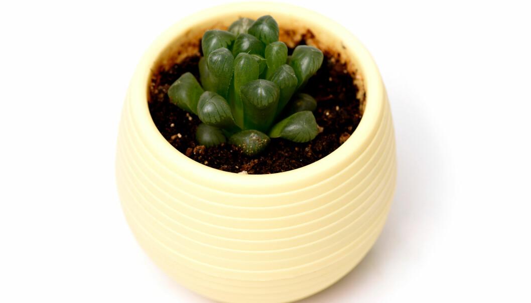 SUKKULENTER: – Dette er plantene for de som ikke har så grønne fingre, sier Ohrstrand.  FOTO: NTB Scanpix