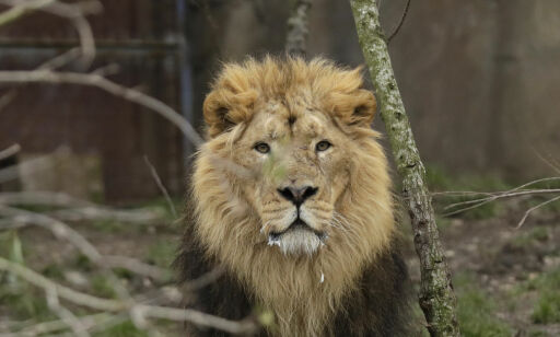 image: Antatt krypskytter spist av løver: - Bare hodet var igjen