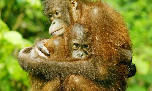 image: Borneos orangutangbestand redusert med 100 000 på 16 år
