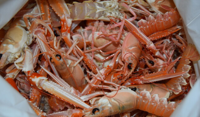 SJØKREPS: De 90 kiloene med levende sjøkreps er nå destruert og brent. Foto: Svinesund tollstasjon
