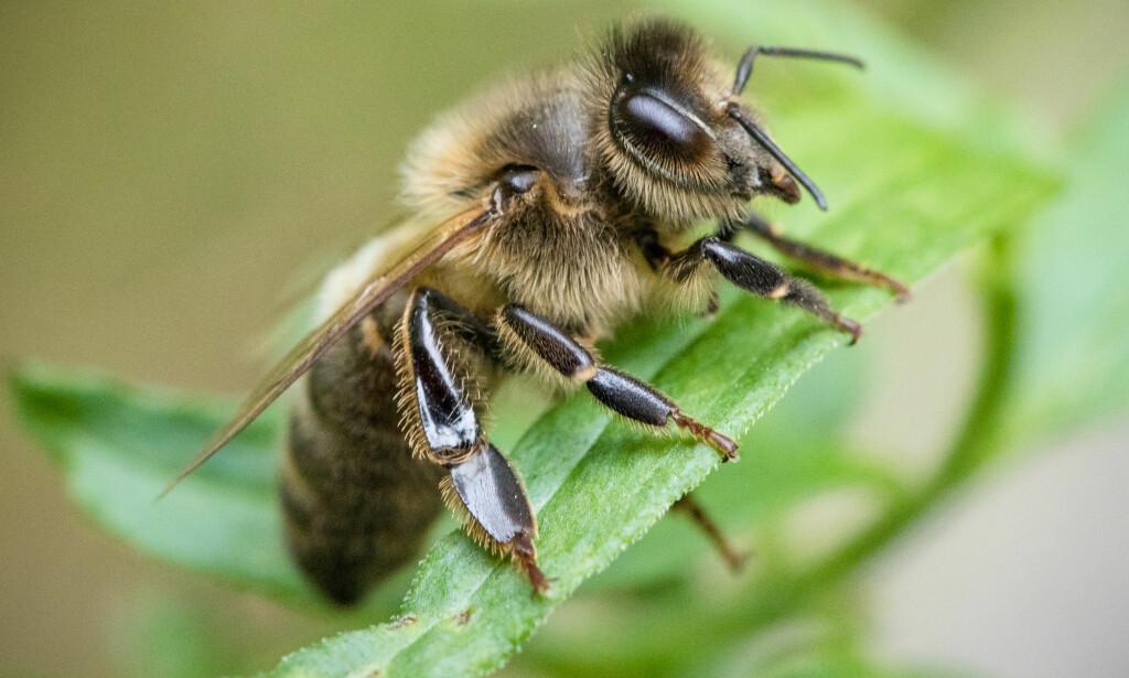TRUES MED ALVORLIG SYKDOM: Norske honningbier regnes som noen av verdens friskeste bier. Nå står de i fare for å bli smittet av alvorlige sykdommer. Foto: Audun Braastad / NTB scanpix