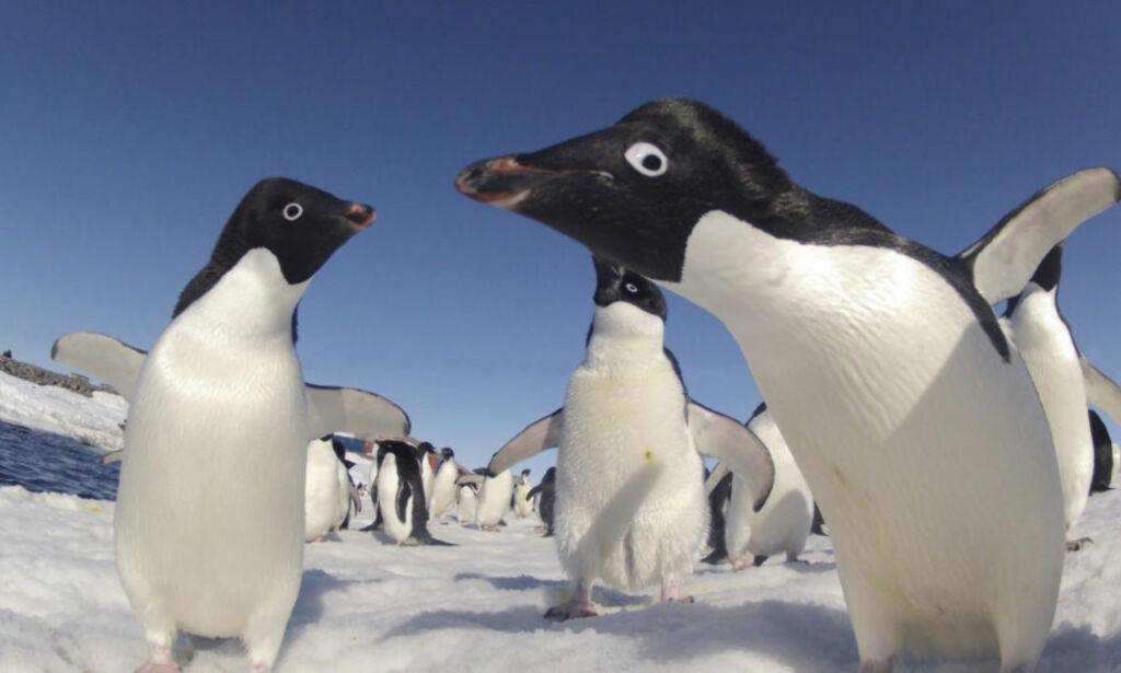 image: 150 000 pingviner døde på grunn av kjempeisflak