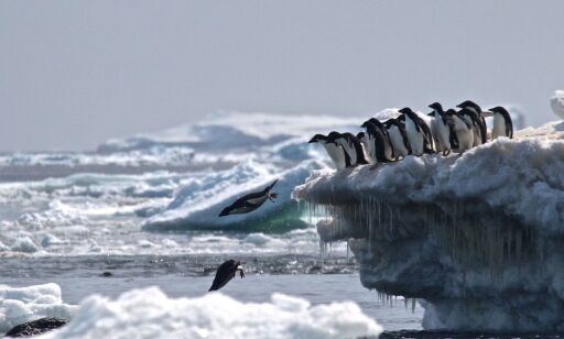 """TOPSHOT - This undated handout photograph released by Stony Brook University/ Louisiana State University on March 2, 2018, shows Adélie penguins leaping off an iceberg at Danger Islands, Antarctica. A thriving """"hotspot"""" of some 1.5 million Adelie penguins has been discovered on the remote Danger Islands in the east Antarctic, surprised scientists announced on March 2, 2018.  / AFP PHOTO / Stony Brook University AND Louisiana State University / Rachael Herman / RESTRICTED TO EDITORIAL USE - MANDATORY CREDIT """"AFP PHOTO / Rachael Herman/Stony Brook University/ Louisiana State University """" - NO MARKETING NO ADVERTISING CAMPAIGNS - DISTRIBUTED AS A SERVICE TO CLIENTS"""