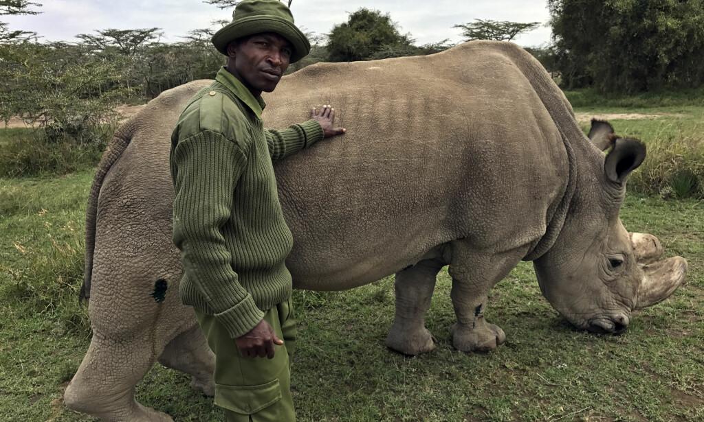 SYK: Neshornet Sudan har fått en kraftig infeksjon i høyre bakbein. Det kan koste hele arten livet. Foto: AP / NTB Scanpix