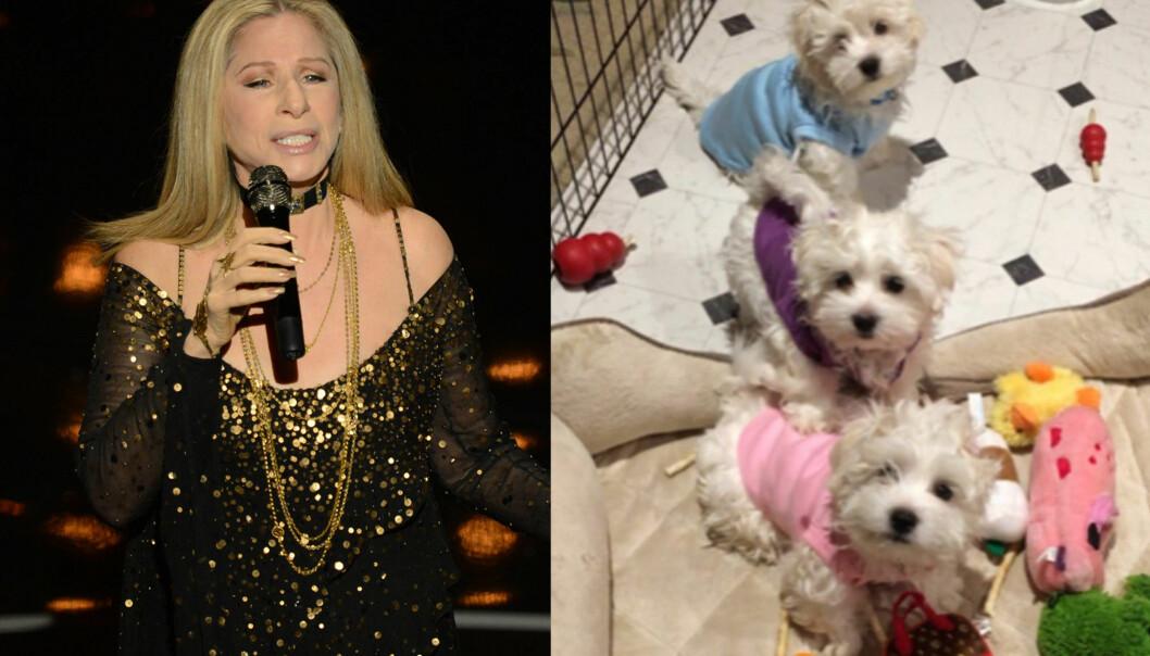 LYKKE: Barbra Streisand mistet hunden sin i fjor. Samantha ble 14 år gammel, og tapet var stort for den verdenskjente multikunstneren. Hun valgte derfor å klone sin elskede hund. Foto: NTB scanpix / Privat