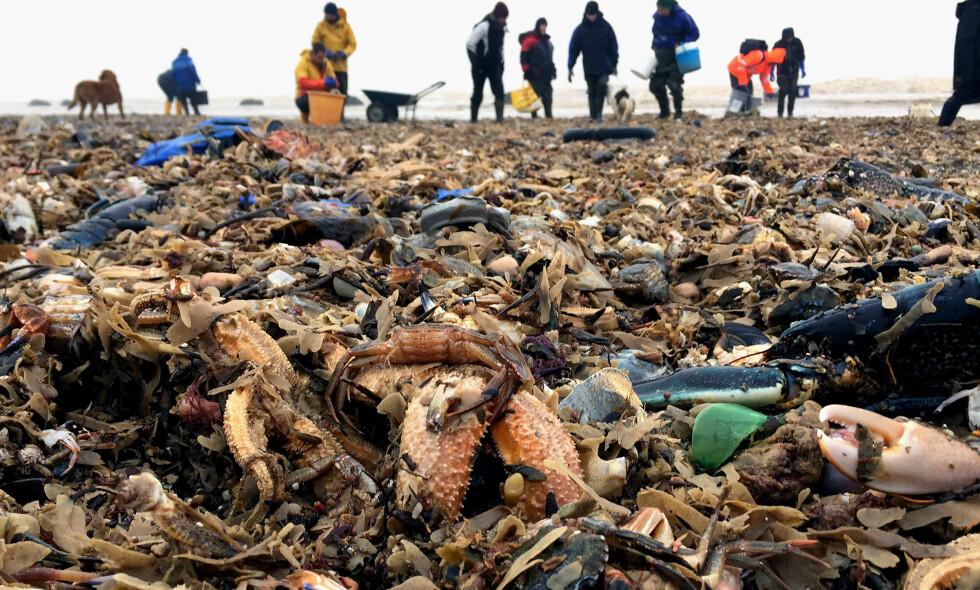 KRIGSSONE: Fisker, krabber, hummer og sjøstjerner er skylt døde i land etter den siste tidens lave sjøtemperaturer i England. Miljøorganisasjoner samarbeider nå med lokale fiskere for å rydde området. FOTO: NTB Scanpix/Yorkshire Wildlife Trust/REX/Shutterstock