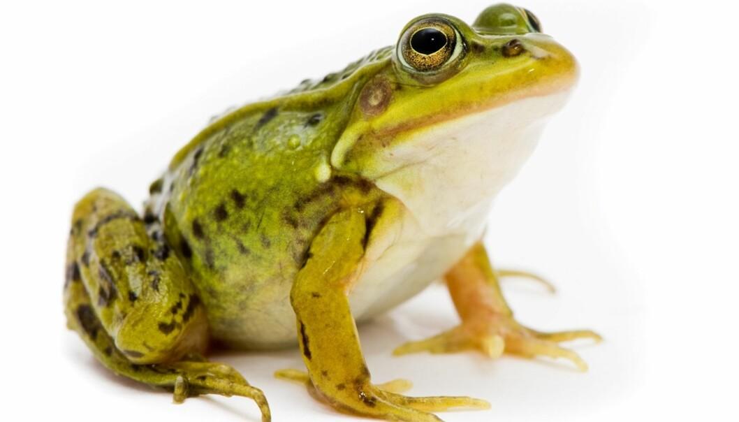 <strong>KUR MOT TRØSKE:</strong> Hvis du en gang får sopp på tungen burde du kanskje skaffet deg en frosk? Foto: Scanpix.