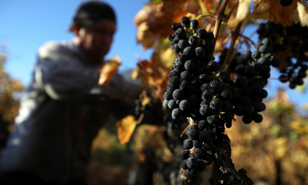 DRUEHØST: 55 pst. av fruktfarmerne i California sier at mer enn halve avlingen ikke blir høstet på grunn av mangel på arbeidskraft. De skylder på USAs nye aktivistiske immigrasjonspolitikk. Foto: AFP / NTB Scanpix