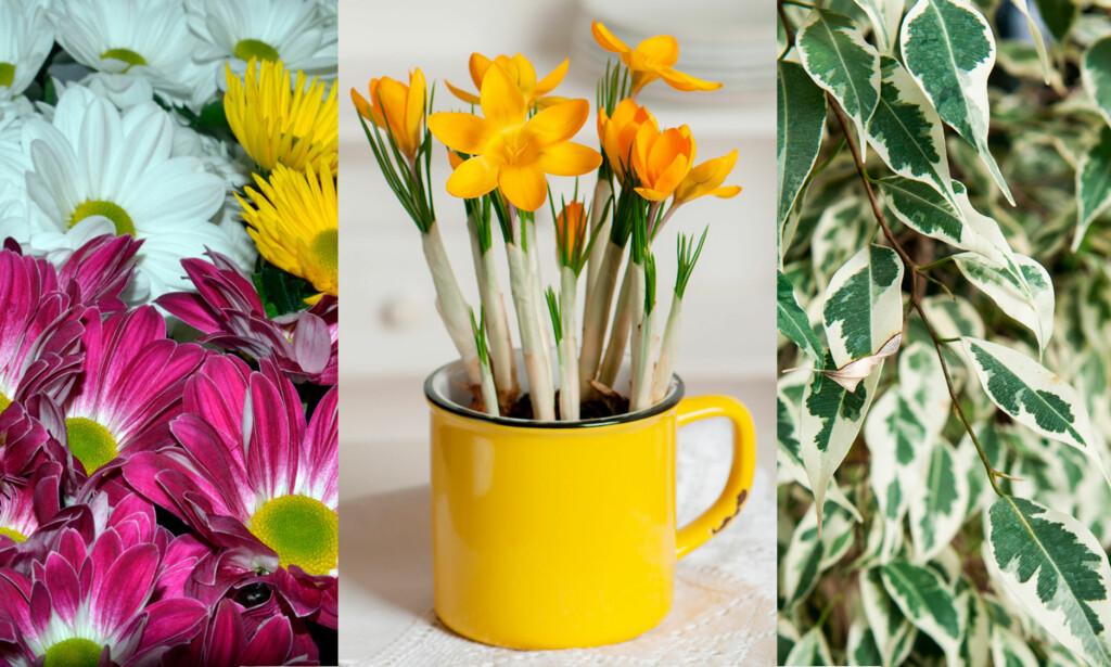 KAN GI ALLERGIPLAGER: Krysantemum, påskeliljer og bladfiken er tre eksempler på planter som allergikere kan reagere på i innemiljøet. FOTO: NTB Scanpix / Shutterstock