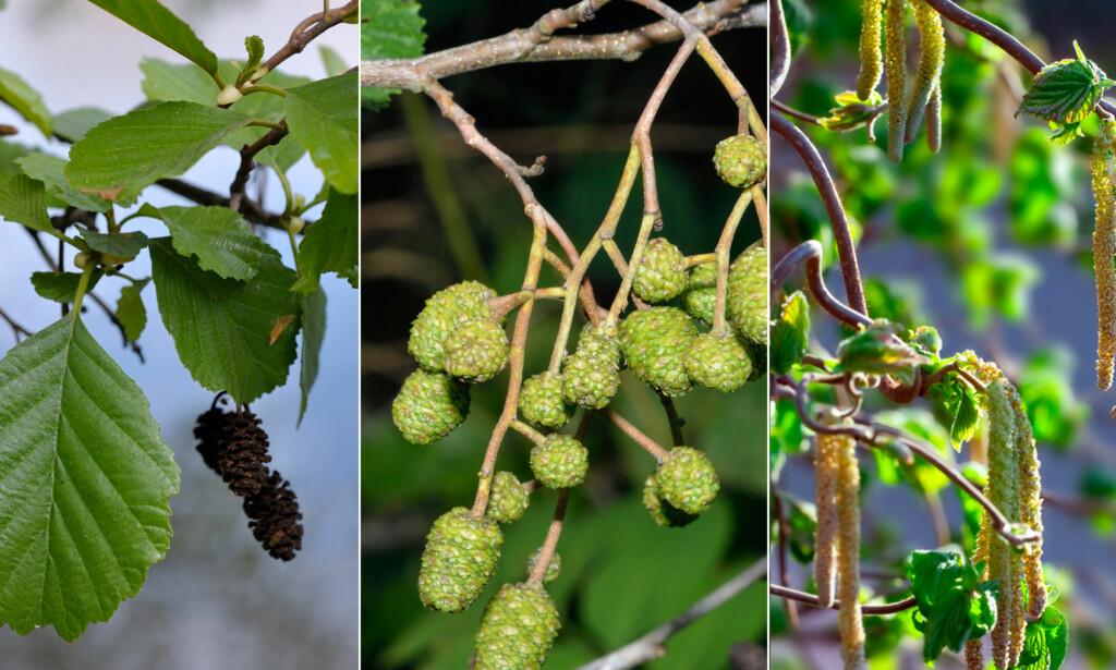 SVARTOR, GRÅOR OG HASSEL: Det er disse tresortene som er syndebukken når du allerede i februar, mars eller tidlig i april får symptomer på pollenallergi. Her ser du de tre tresortene senere på sommeren, om våren blomstrer de på bar kvist (rankler).
