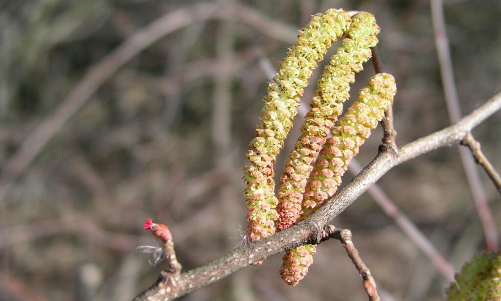 Pollenallergi: Or- og hassel - Lommelegen