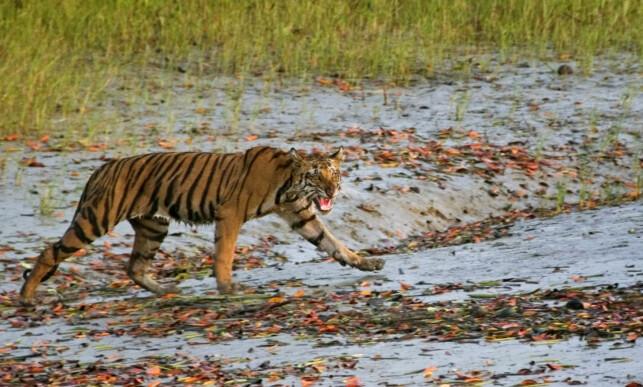 LEVER FARLIG: 96 prosent av yngleområdene til tigrene som lever i mangroveskogen i Sundarban nasjonalpark i India, kan bli oversvømt som følge av stigende havnivå. Foto: Joydip Kundu / AP / NTB Scanpix