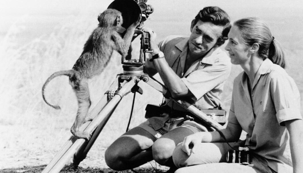 FELTARBEID: I 1962 ble den nederlandske filmfotografen Hugo van Lawick hyret inn av National Geographic til å dokumentere Jane Goodalls arbeid. Til å begynne med var hun negativ til dette, men etter hvert blomstret kjærligheten mellom forskeren og filmfotografen. Dette bildet er tatt i 1974, samme år som de skilte seg. Foto: NTB Scanpix