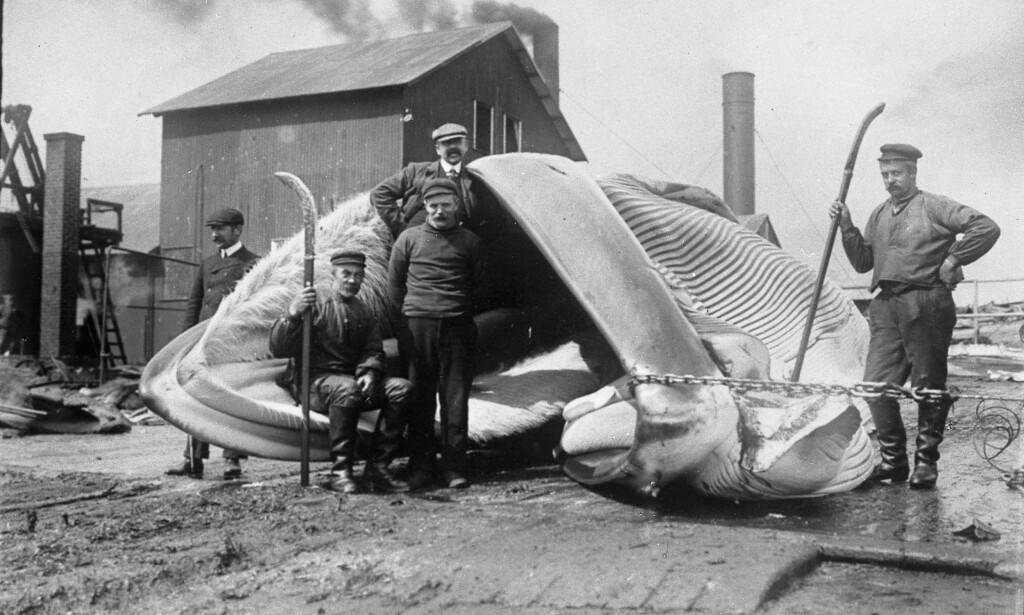 HVALFANGST: Anders Beer Wilse tok en rekke bilder av natur, landskap og dagligliv i Norge. Her fra hvalfangst på Spitsbergen i 1906. Foto: Anders Beer Wilse / Norsk Teknisk Museum