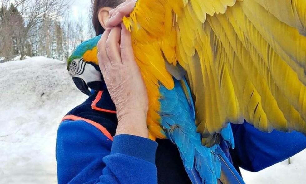 SATT I ET TRE: Denne papegøya stakk av fra eieren sin i dag. Eieren ringte derfor brannvesenet. Foto: Brannvesenet i Vestfold