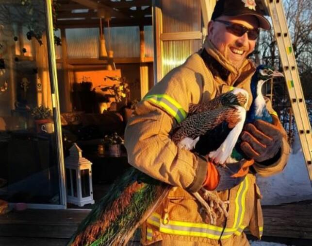 I TRYGGE HENDER: Denne påfuglen ble satte seg på taket til naboen i dag. Han ble hentet hjem igjen. Foto: Brannvesenet i Vestfold