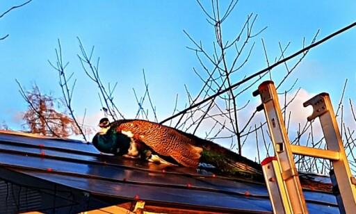 PÅ TAKET: Påfugl var på luftetur på naboens tak. Foto: Brannvesenet i Vestfold